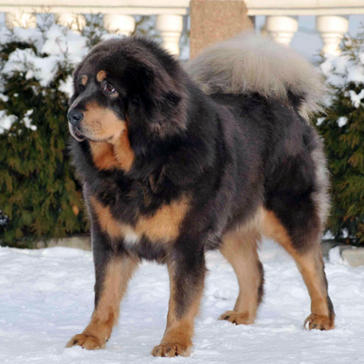 top ten list of the most expensive purebred dogs