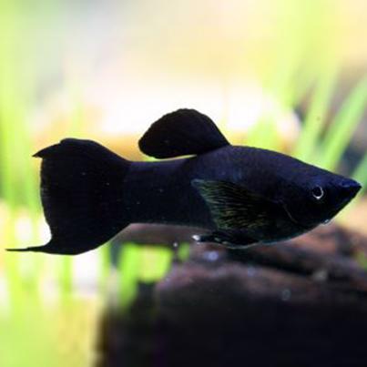 live bearing fish- black molly