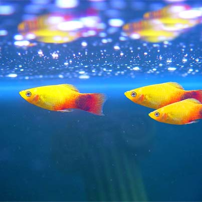 live bearing fish- platy