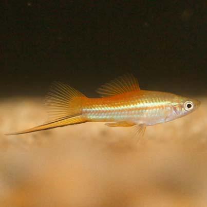 live bearing- swordfish