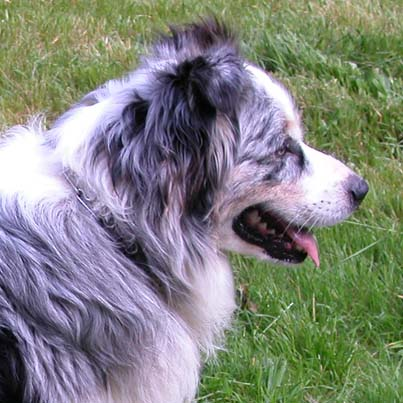 smartest dog- australian shepherd