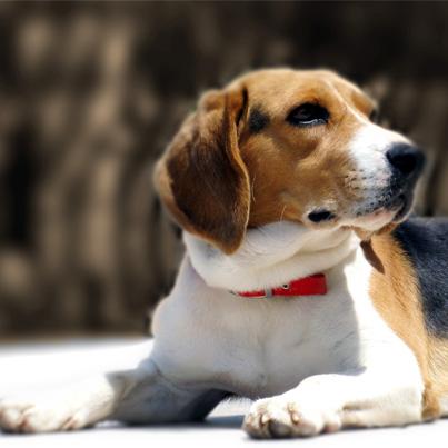 smartest dog- beagle