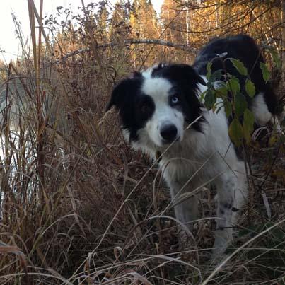 smartest dog- border collie