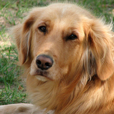 smartest dog- golden retriever