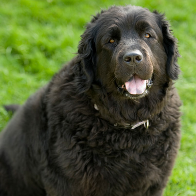 smartest dog- newfoundland