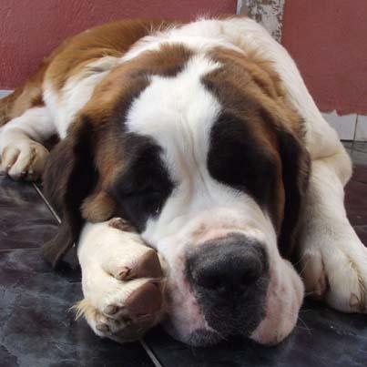 smartest dog- saint bernard